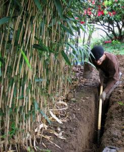 Возделывание бамбука