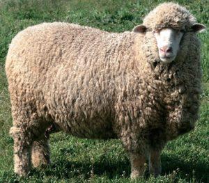 Порода овцы меринос