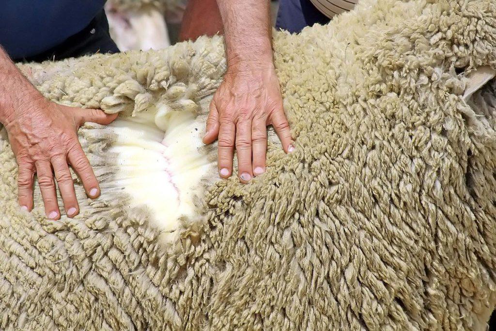 Характеристика шерсти австралийского мериноса