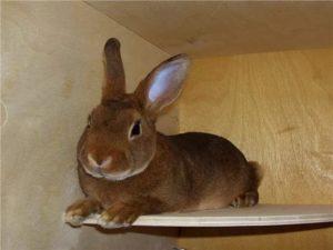 Кролик Рекс песочного окраса