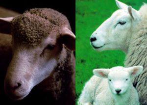 Овцы для тулупов