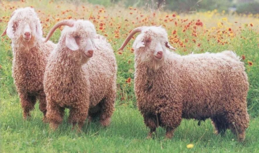 Шерсть ангорская коза