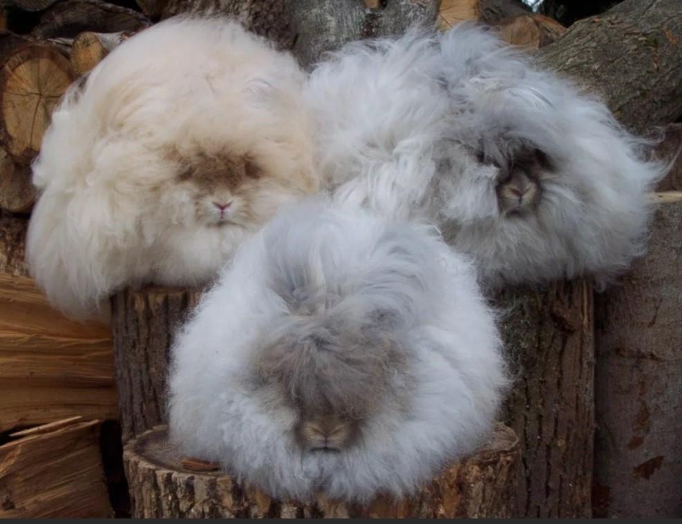 Шерсть ангорский пуховый кролик