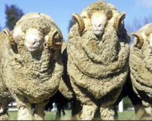 Шерсть овцы меринос