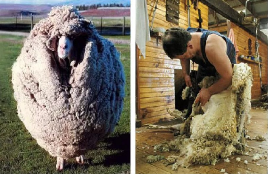 Шерсть стрижка овец