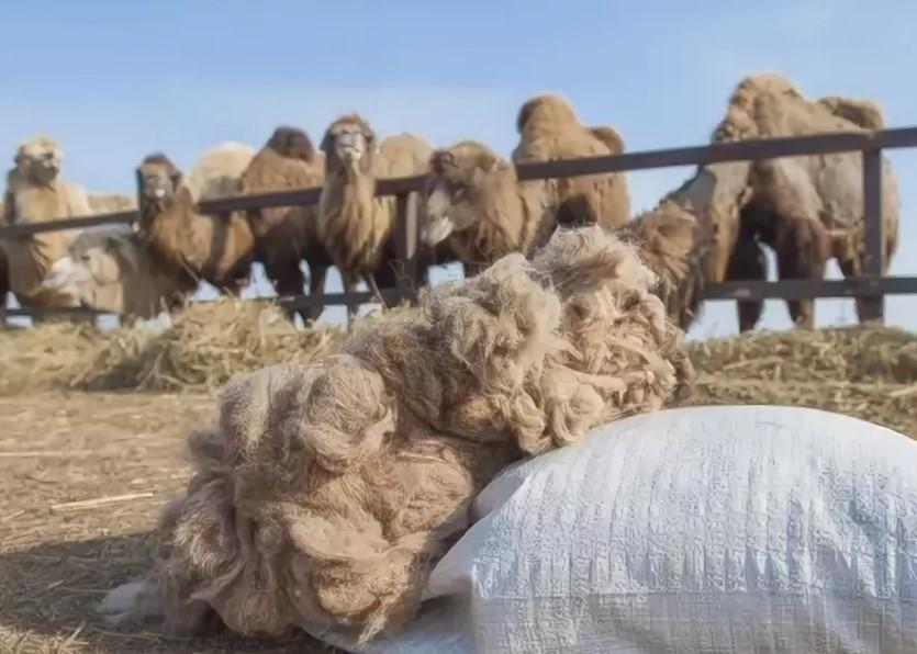 Шерсть верблюд