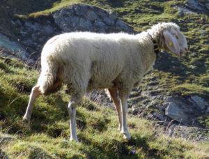 Овца Tiroler Bergschaf