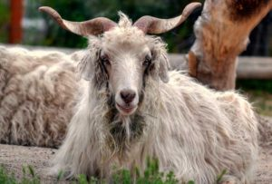 тибетская коза
