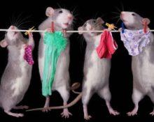 мыши вешают белье