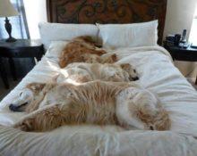 Спящее животное в твоей кровати