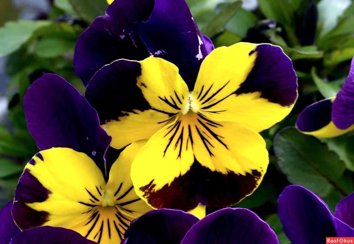 жёлтый и фиолетовый в природе