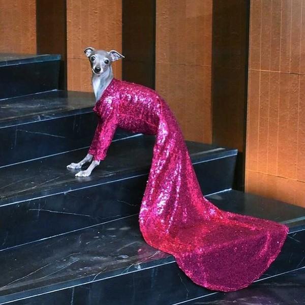 Левретка Тика - самая модная собака
